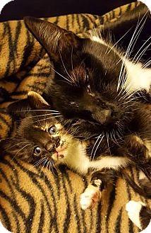 Domestic Shorthair Cat for adoption in Bellingham, Washington - Marlene