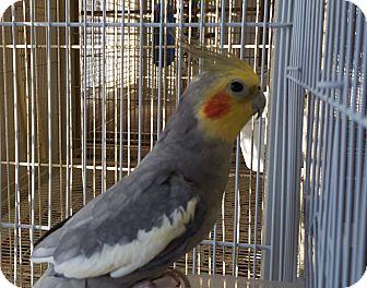 Cockatiel for adoption in Grandview, Missouri - Chico and Fresca