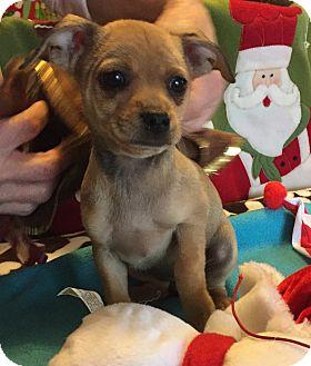 Jack Russell Terrier/Miniature Pinscher Mix Puppy for adoption in Santa Ana, California - Robin