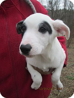 Jack Russell Terrier/Feist Mix Puppy for adoption in Rutherfordton, North Carolina - ETHAN