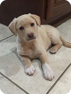 Labrador Retriever/Golden Retriever Mix Puppy for adoption in Houston, Texas - Soxy