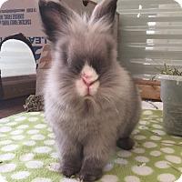 Adopt A Pet :: Amycus - Watauga, TX