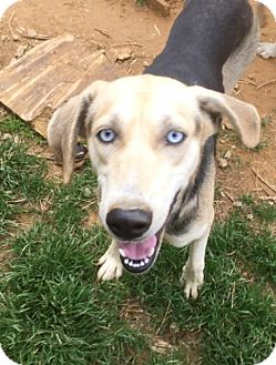 Treeing Walker Coonhound/Siberian Husky Mix Dog for adoption in Charlotte, North Carolina - Maddie