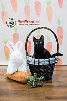 Domestic Shorthair Kitten for adoption in Columbus, Ohio - Baby Olive