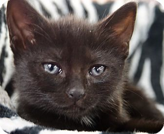 Domestic Shorthair Kitten for adoption in River Edge, New Jersey - Wicca