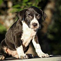 Adopt A Pet :: Ares - Sarasota, FL