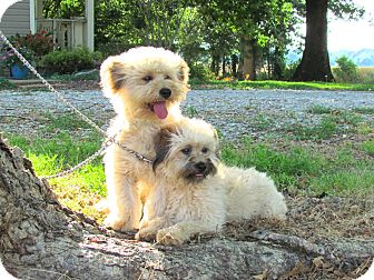 Lhasa Apso Mix Dog for adoption in Newburgh, New York - SNICKER - DOODLE - BONDED PAIR