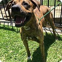 Adopt A Pet :: Baloo - Santa Ana, CA