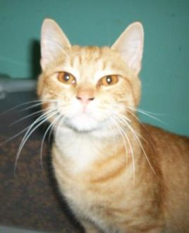 Domestic Shorthair/Domestic Shorthair Mix Cat for adoption in Clinton, Missouri - Bennet