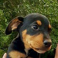 Adopt A Pet :: Sam-ADOPTED - Springfield, MA