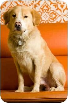 Golden Retriever Mix Dog for adoption in Portland, Oregon - Garth
