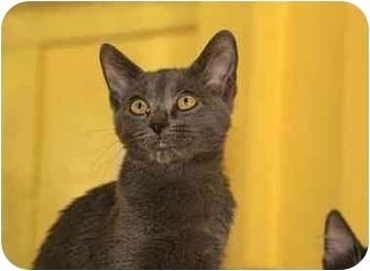 Domestic Shorthair Kitten for adoption in Englewood, Florida - Sarah