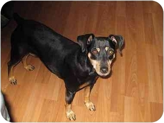 Miniature Pinscher Dog for adoption in Phoenix, Arizona - Sasha