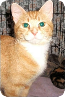 Domestic Shorthair Cat for adoption in Colmar, Pennsylvania - Dulce