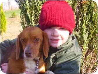 Beagle Dog for adoption in Buffalo, New York - Mazzie: Purebred Coppernose