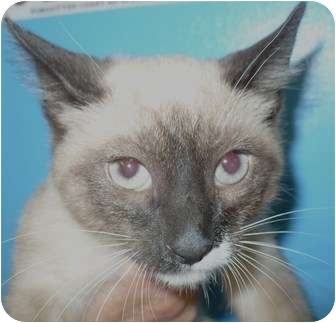 Siamese Kitten for adoption in Eastpoint, Florida - Ripley