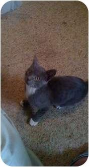 Russian Blue Cat for adoption in Baton Rouge, Louisiana - General