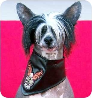 Chinese Crested Dog for adoption in Bridgeton, Missouri - Neo