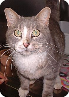Domestic Shorthair Cat for adoption in Sterling, Kansas - Sugar