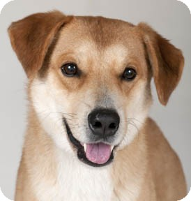 Husky/Labrador Retriever Mix Dog for adoption in Chicago, Illinois - Weasley
