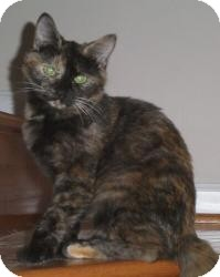 Domestic Shorthair Cat for adoption in Reston, Virginia - Clara