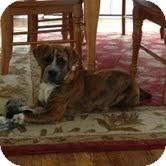 Boxer/Shar Pei Mix Puppy for adoption in Coeburn, Virginia - Freckles
