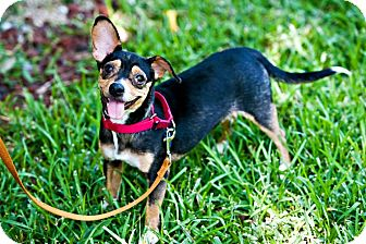 Chihuahua Mix Dog for adoption in Houston, Texas - Simba