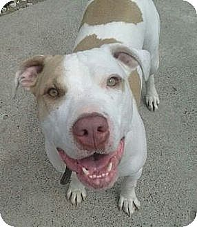 Pit Bull Terrier/Terrier (Unknown Type, Medium) Mix Dog for adoption in Detroit, Michigan - Chuckie