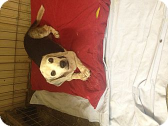 Beagle Dog for adoption in Henderson, Kentucky - Ruby