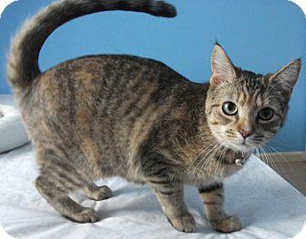 Domestic Shorthair Cat for adoption in Colmar, Pennsylvania - Deena