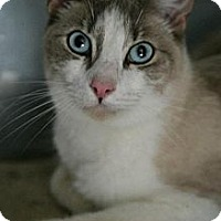 Siamese Cat for adoption in Jackson, Mississippi - Cousteau