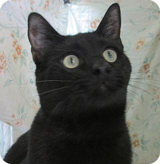 Oriental Cat for adoption in Pueblo West, Colorado - Otis