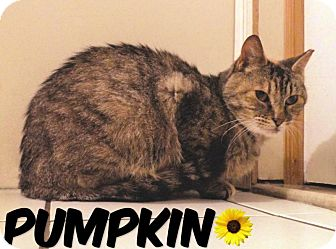 Domestic Shorthair Cat for adoption in River Edge, New Jersey - Pumpkin