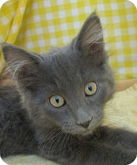 Domestic Mediumhair Kitten for adoption in Pueblo West, Colorado - Shakira
