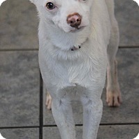Adopt A Pet :: Cotton - Yuba City, CA
