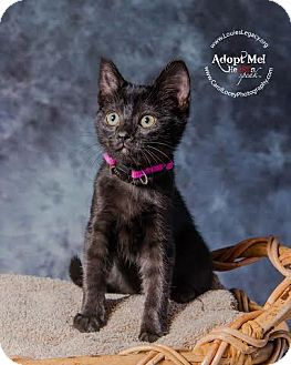 Domestic Shorthair Kitten for adoption in Cincinnati, Ohio - Gepetto