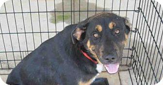 German Shepherd Dog Mix Puppy for adoption in Newnan City, Georgia - Grady