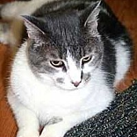 Domestic Shorthair Cat for adoption in Harleysville, Pennsylvania - Paisley