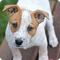 Adopt A Pet :: Autumn - Delano, MN