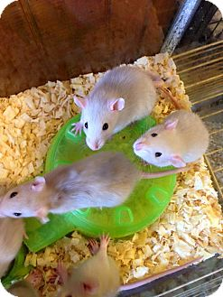 Rat for adoption in Broadway, New Jersey - Baby rats