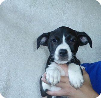 Border Collie/Labrador Retriever Mix Puppy for adoption in Oviedo, Florida - Mabel