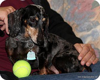 Dachshund Dog for adoption in Spokane, Washington - Bella, pending home