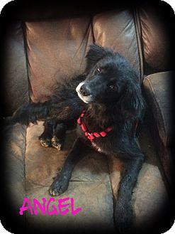 Cocker Spaniel Mix Dog for adoption in Glastonbury, Connecticut - Angel