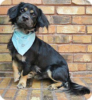 Spaniel (Unknown Type)/Dachshund Mix Dog for adoption in Benbrook, Texas - Harlow