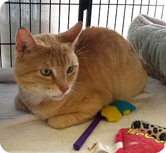 Domestic Shorthair Cat for adoption in Berkeley Hts, New Jersey - Gus