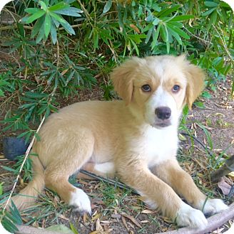 Golden Retriever Mix Puppy for adoption in Irvine, California - MIA
