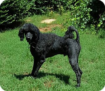 Poodle (Standard)/Portuguese Water Dog Mix Dog for adoption in Alpharetta, Georgia - Cary Grant
