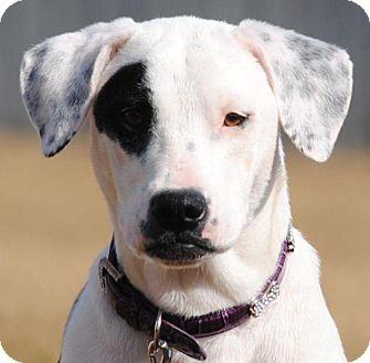 American Bulldog/Labrador Retriever Mix Dog for adoption in Cedartown, Georgia - Patches