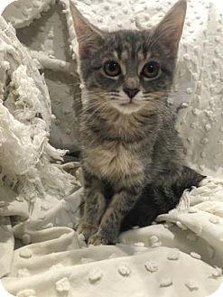 Domestic Shorthair Kitten for adoption in Paducah, Kentucky - Leona