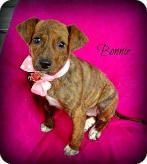 Catahoula Leopard Dog Mix Puppy for adoption in Princeton, Kentucky - Bonnie